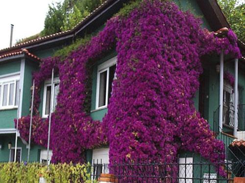La belleza de la buganvilla - Fotos de buganvillas ...