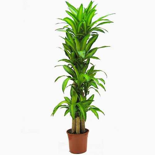 Tronco del brasil - Plantas de interior comprar ...