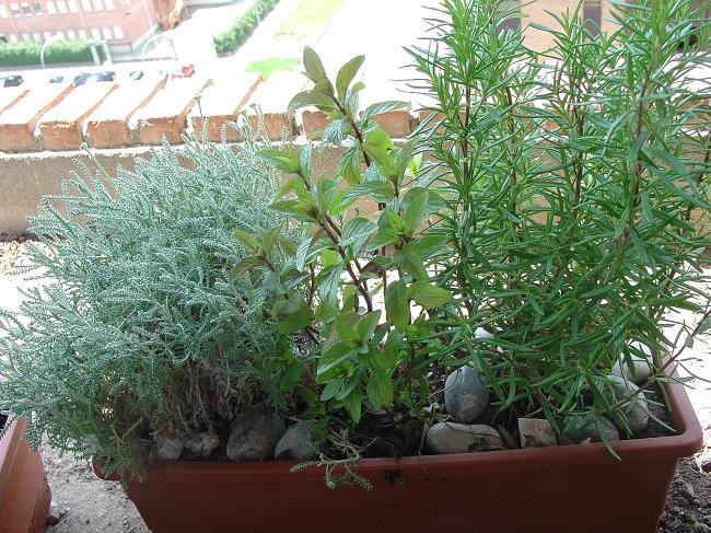 Cuidados para las hierbas arom ticas - Jardin de aromaticas ...